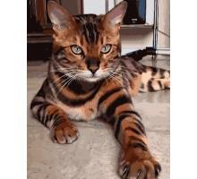 Картина по номерам Бенгальская кошка