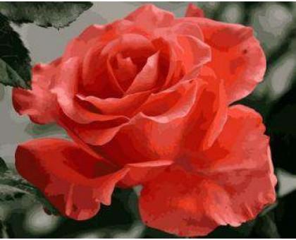 Картина по номерам Коралловая роза